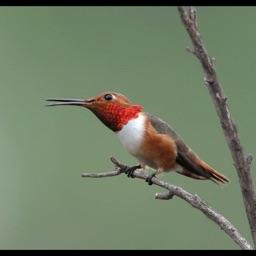 Woodpeckers Encyclopedia Pro