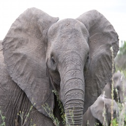 Elephant Sounds Effects - High Quality SFX, Ringtones, Alerts and More Straight From Africa