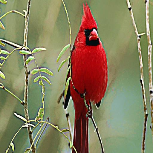 Cardinals - Bird Ringtones, Sounds Alerts, Alarms and More