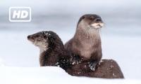 HD Otters TV