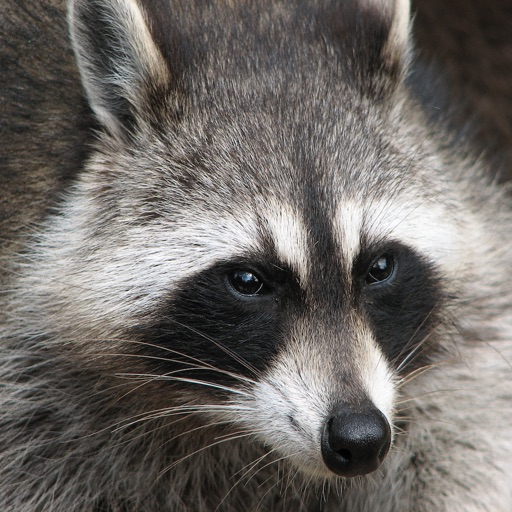 Raccoon Sounds From The Trash Can To The Palm Of Your Hand By