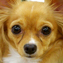 Chihuahua Cute Pet Baby Animal Jigsaw Puzzles Educational Toddler Game for Kids who Love Educational Memory Learning Games for Free
