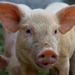 Świnie i inne zwierzęta hodowlane