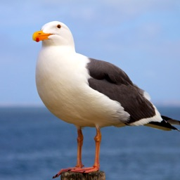 Seagull Sounds