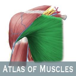 Anatomy: Atlas of Muscles