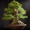 Bonsai Basics - Learn All About Growing Bonsai Trees - Gooi Ah Eng