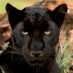 Wild Black Panther Wallpapers & Animal Pictures