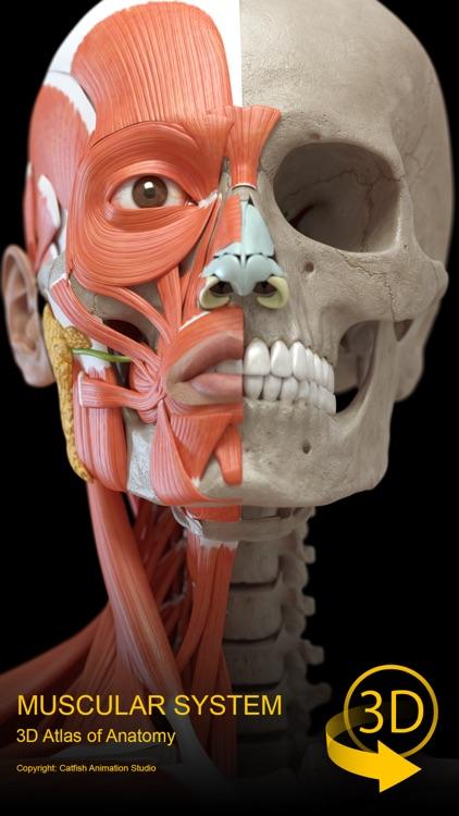 Muscular System - 3d Atlas Of Anatomy