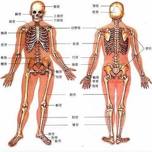 人类器官系统|人体骨骼构造大全