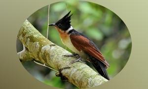 Cuckoos - Bird Guru