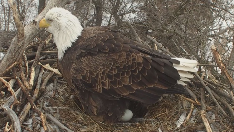 Real Live Eagle Cam