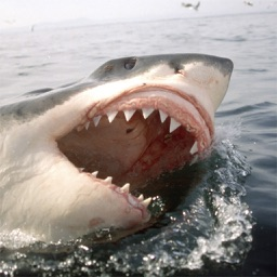 Great white shark – Awesome photo collection of a great shark type