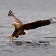 Falcons and Caracaras Info