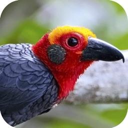 Sabah Birds