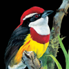 Birds In The Hand, LLC - Birds of Peru  artwork