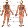 人类器官系统 人体骨骼构造大全
