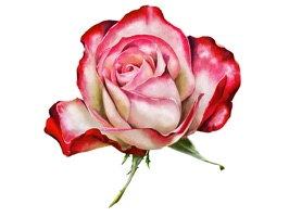 Painted, photo realistic rose and wildflower art