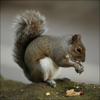 Cris D'Appel Pour La Chasse à L'écureuil