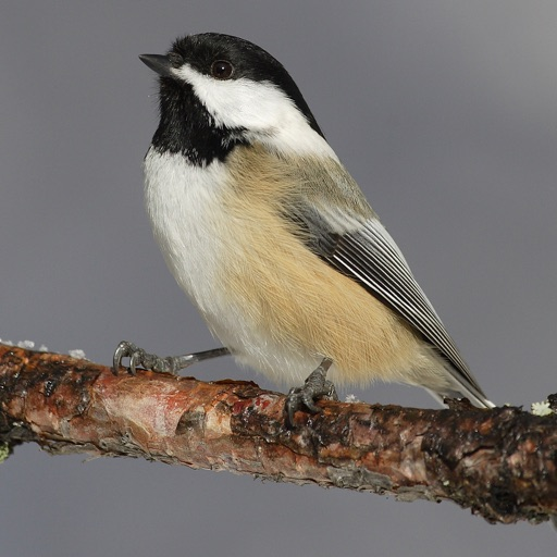 Chickadee Bird Calls - High Quality Sound Effects Live From Nature