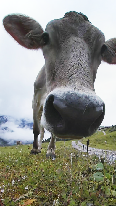 VR Kissed by Cow and Sheep Virtual Reality 360 screenshot one