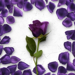 Flower Greetings Violet Roses