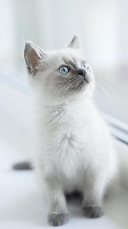 Cat & Kitten Wallpapers - meow screenshot-6